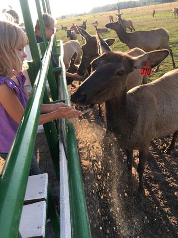 Amber Elk